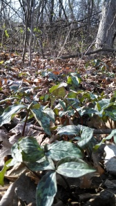 Today's patch of trillium is about 3 feet square.